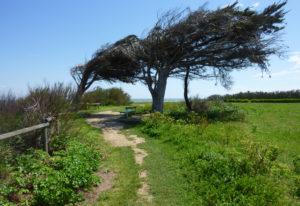 Arbres déformés par les vents